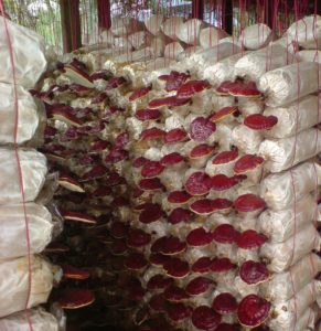 DXN bio Ganoderma ültetvény Malajziában
