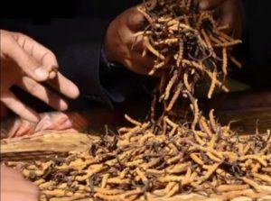 Kínai hernyógomba árus a piacon éppen kimér egy adagot a Cordycepsből