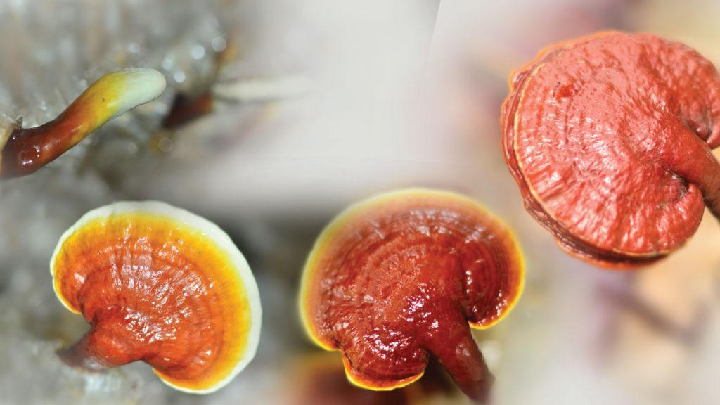 A DXN vállalat saját termesztésű Ganoderma gyógygombája
