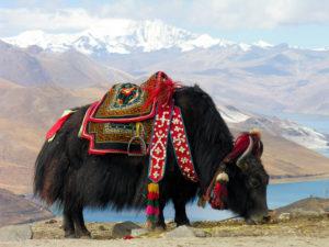 A tibeti jakok egyik kedvence eledele a vadon termő kínai hernyógomba