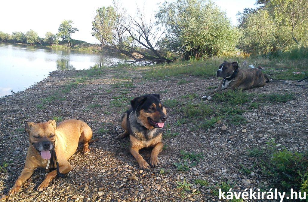 Kutyák hűsölnek a miskolci Csorba tó partján