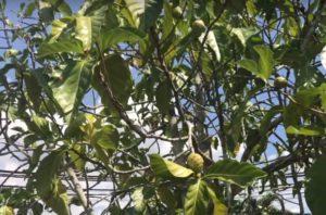 Noni gyümölcs a DXN malajziai Morinzhi gyára előtt
