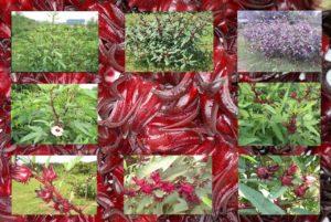 A DXN szudáni hibiszkusz ültetvénye