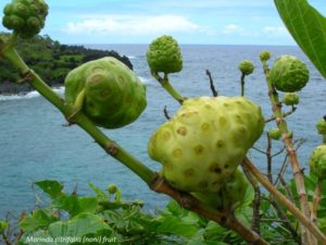 Morinda citrifolia gyümölcs Tahiti szigetén az óceán partján
