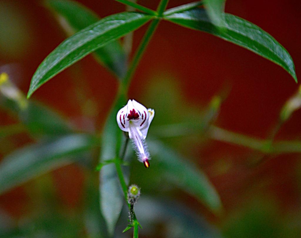 A DXN Andro G összetevője: az Andrographis paniculata virága